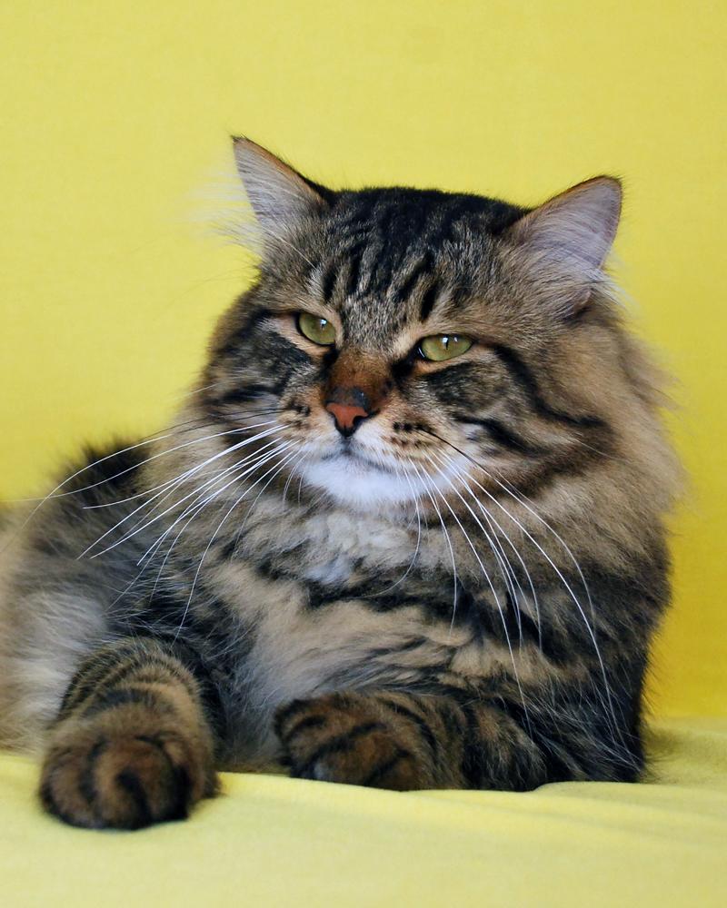Сибирские породы кошек в картинках